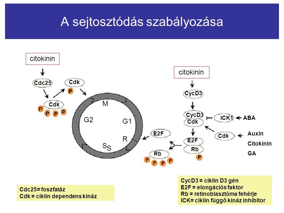 A sejtosztódás szabályozása