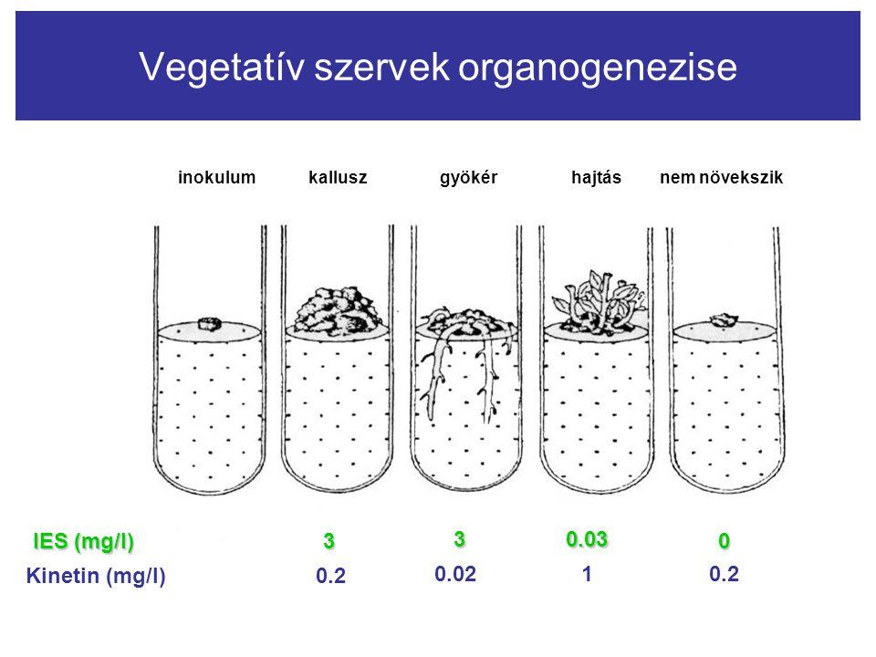 Vegetatív szervek organogenezise