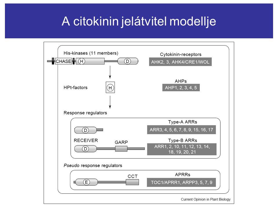 A citokinin jelátvitel modellje
