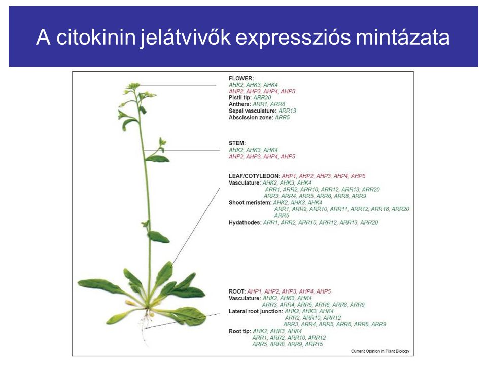 A citokinin jelátvivők expressziós mintázata