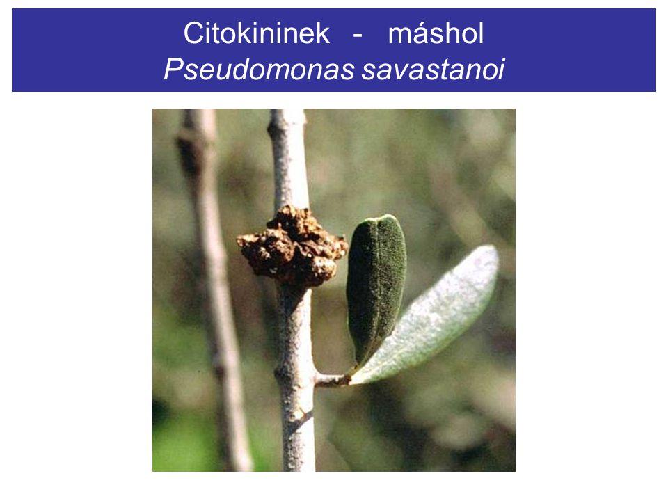 Citokininek - máshol Pseudomonas savastanoi