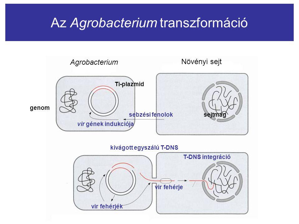 Az Agrobacterium transzformáció