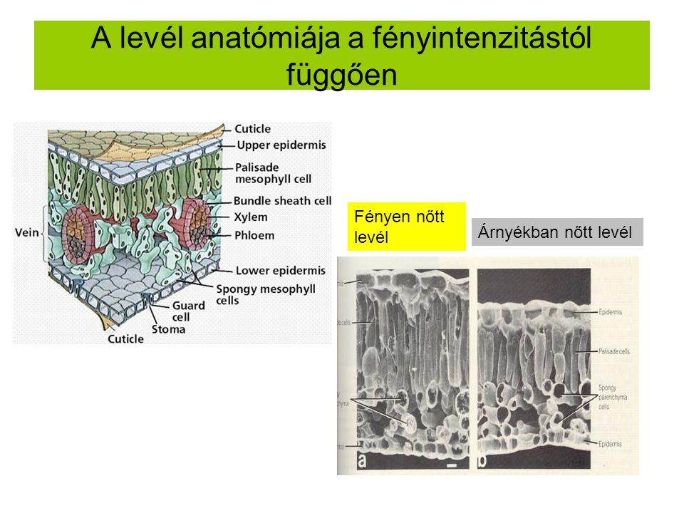 A levél anatómiája a fényintenzitástól függően