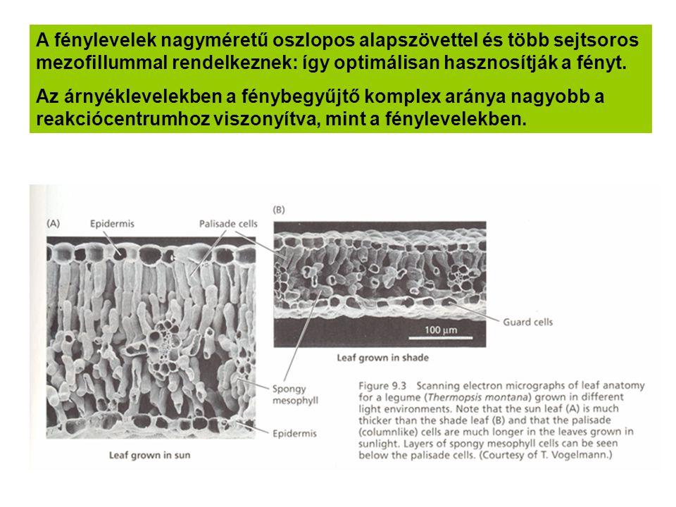 A fénylevelek nagyméretű oszlopos alapszövettel és több sejtsoros mezofillummal rendelkeznek: így optimálisan hasznosítják a fényt.