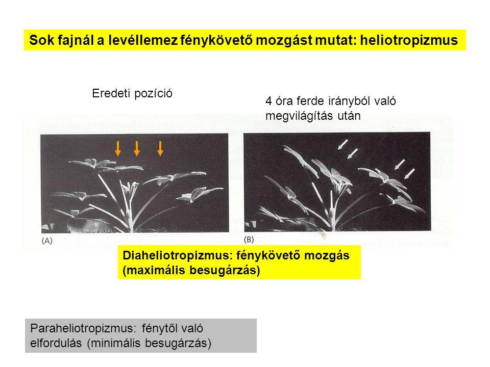 Sok fajnál a levéllemez fénykövető mozgást mutat: heliotropizmus