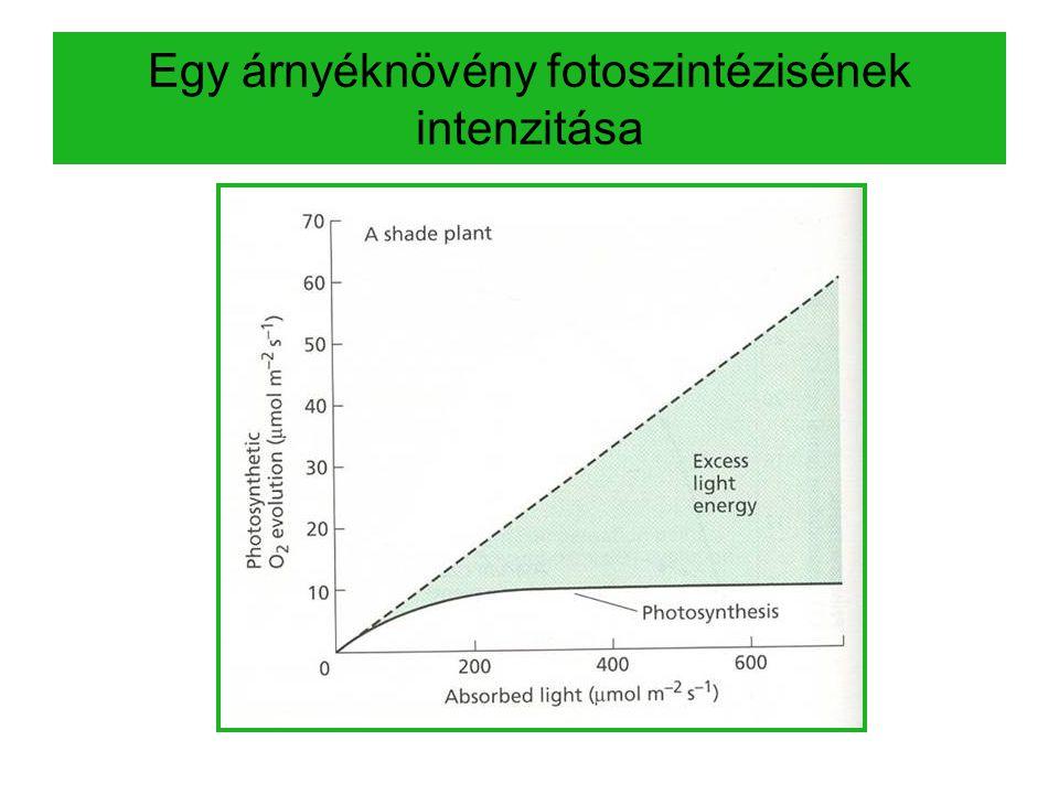 Egy árnyéknövény fotoszintézisének intenzitása