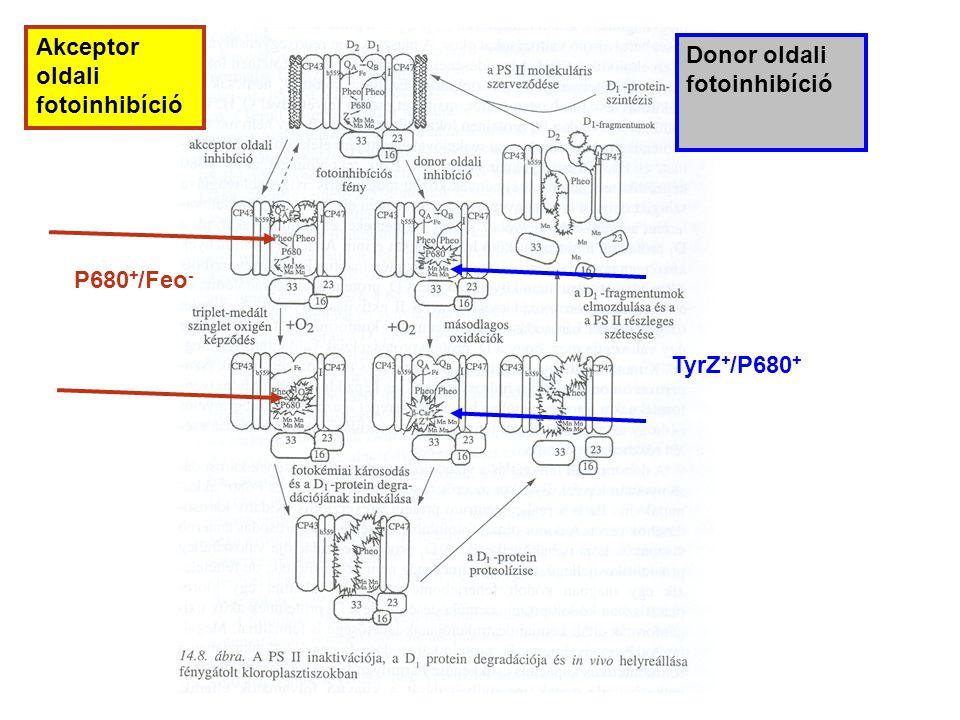 Akceptor oldali fotoinhibíció