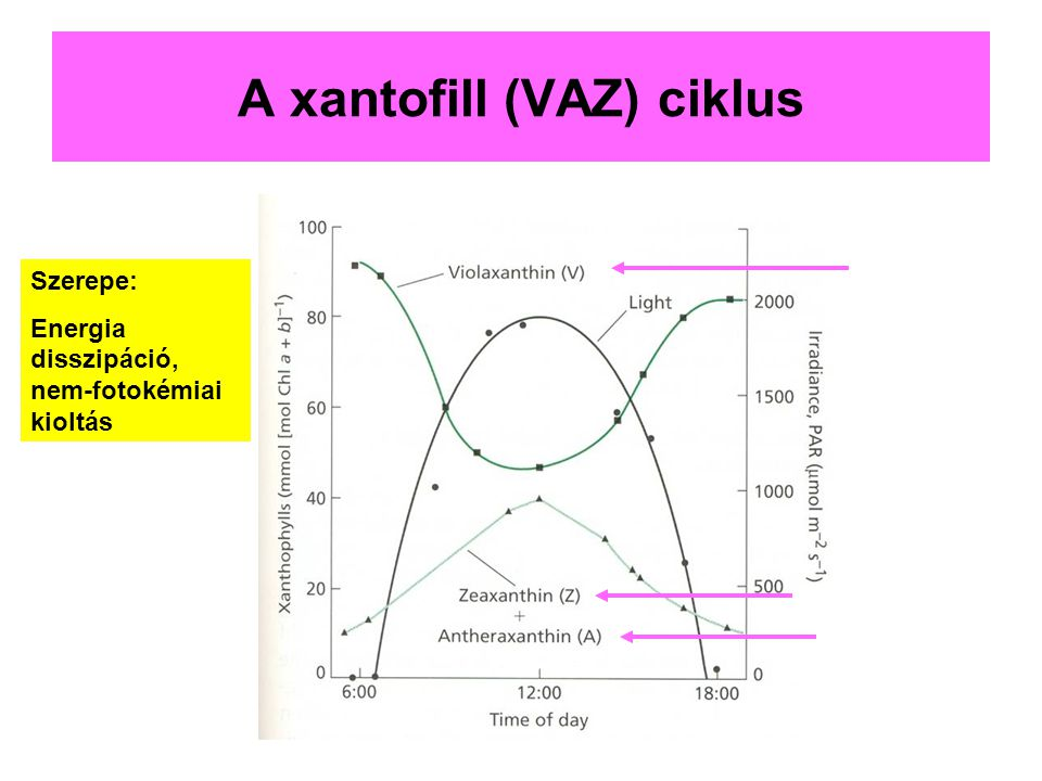 A xantofill (VAZ) ciklus