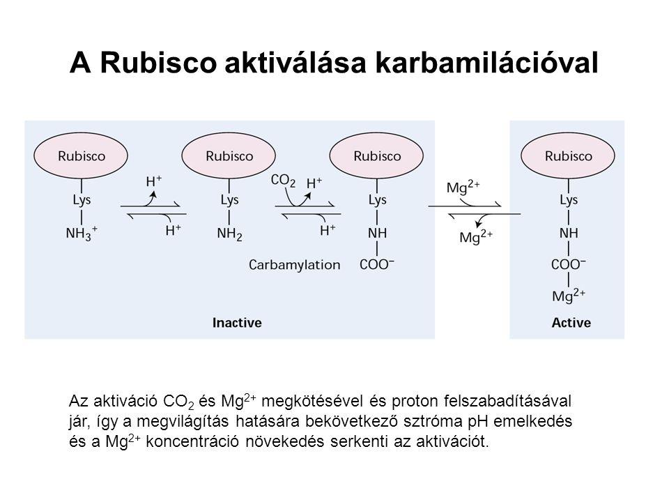 A Rubisco aktiválása karbamilációval
