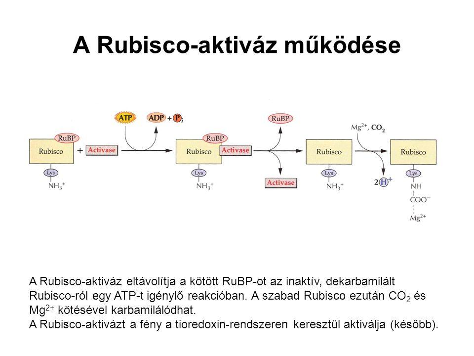 A Rubisco-aktiváz működése