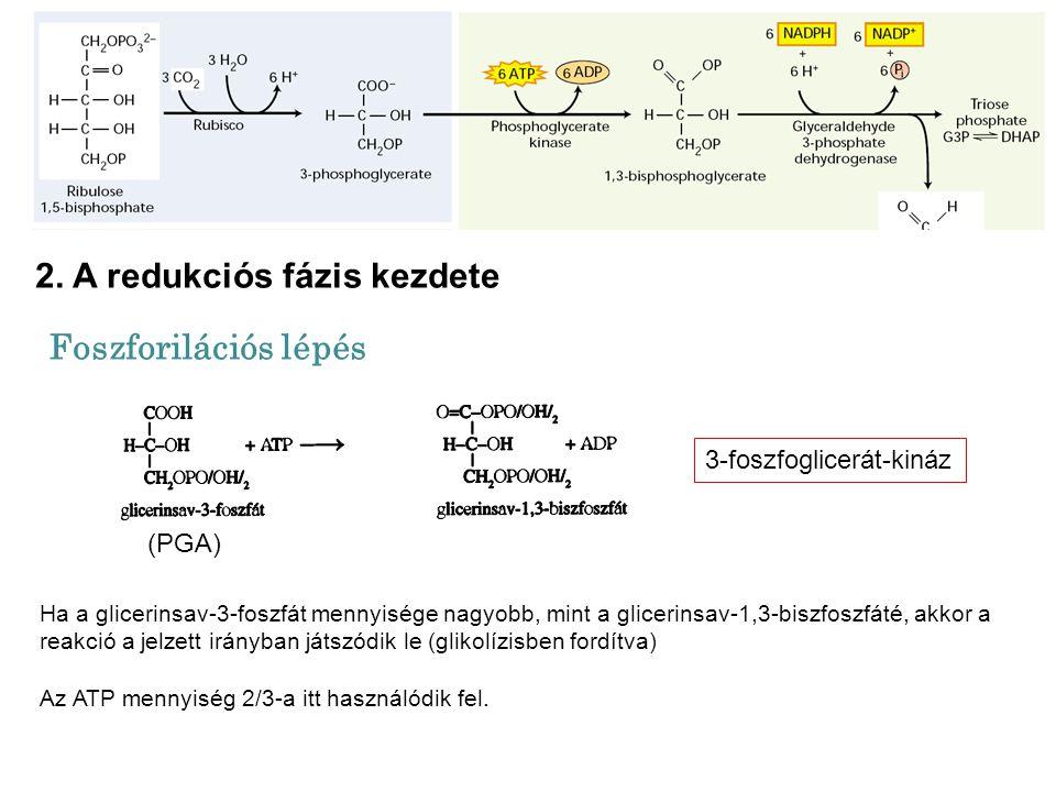 2. A redukciós fázis kezdete