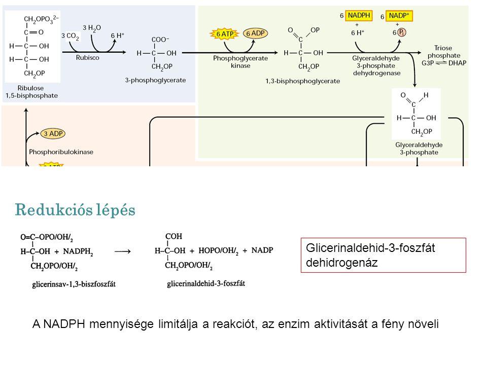 Redukciós lépés Glicerinaldehid-3-foszfát dehidrogenáz