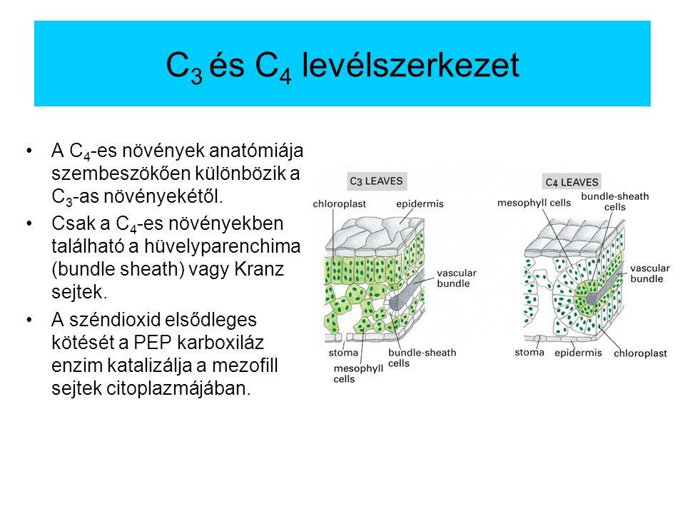 C3 és C4 levélszerkezet A C4-es növények anatómiája szembeszökően különbözik a C3-as növényekétől.