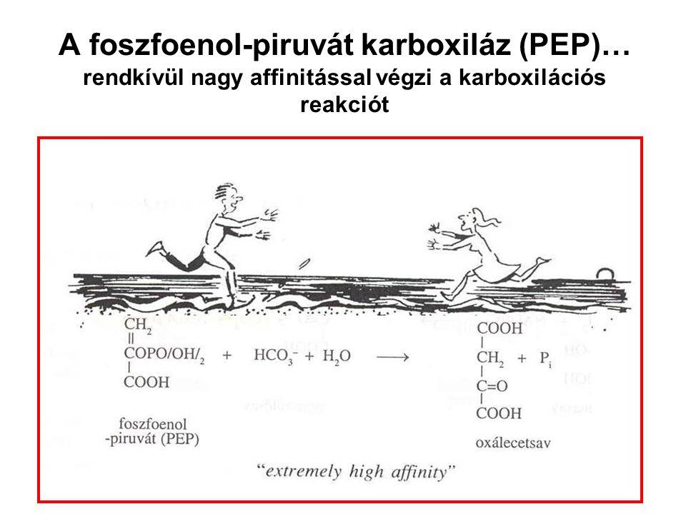 A foszfoenol-piruvát karboxiláz (PEP)… rendkívül nagy affinitással végzi a karboxilációs reakciót