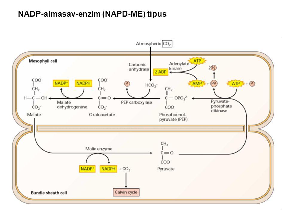 NADP-almasav-enzim (NAPD-ME) típus