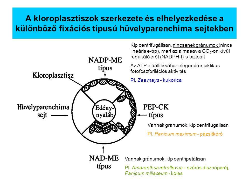 A kloroplasztiszok szerkezete és elhelyezkedése a különböző fixációs típusú hüvelyparenchima sejtekben