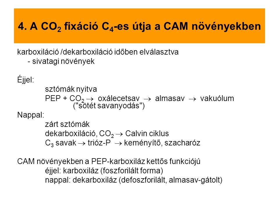 4. A CO2 fixáció C4-es útja a CAM növényekben