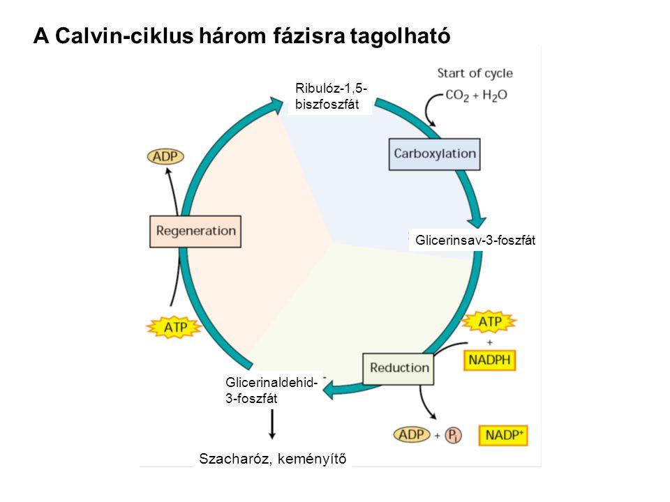 A Calvin-ciklus három fázisra tagolható