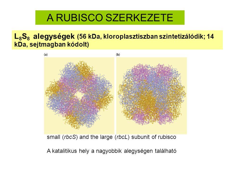 A RUBISCO SZERKEZETE L8S8 alegységek (56 kDa, kloroplasztiszban szintetizálódik; 14 kDa, sejtmagban kódolt)