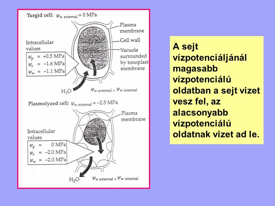 A sejt vízpotenciáljánál magasabb vízpotenciálú oldatban a sejt vizet vesz fel, az alacsonyabb vízpotenciálú oldatnak vizet ad le.