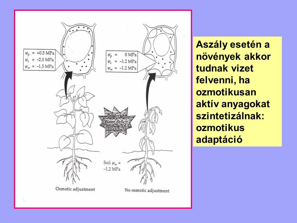 Aszály esetén a növények akkor tudnak vizet felvenni, ha ozmotikusan aktív anyagokat szintetizálnak: ozmotikus adaptáció
