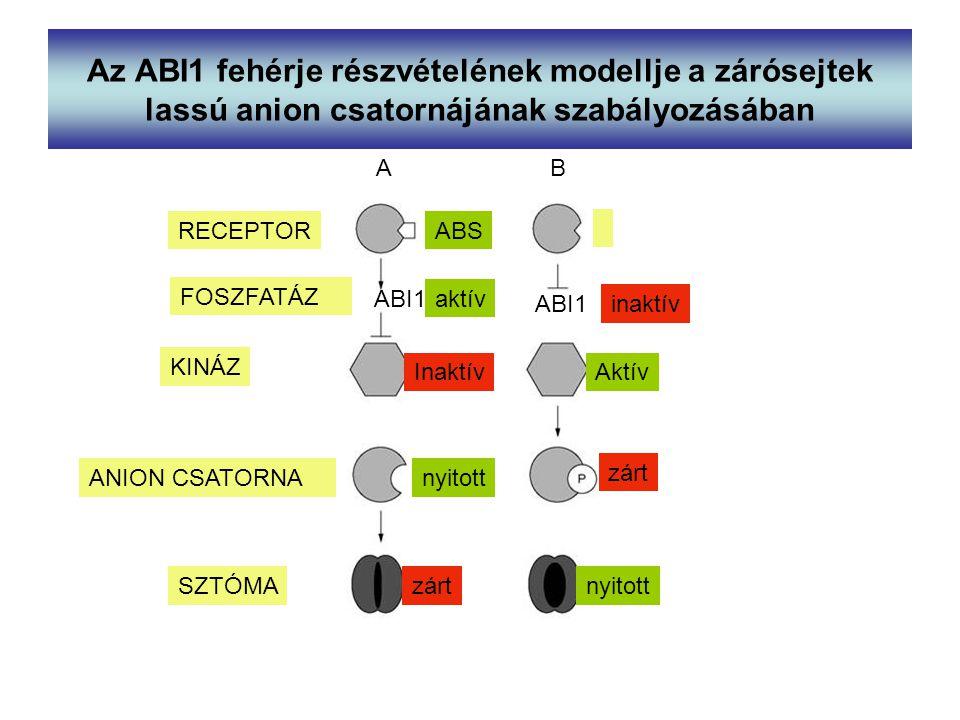 Az ABI1 fehérje részvételének modellje a zárósejtek lassú anion csatornájának szabályozásában
