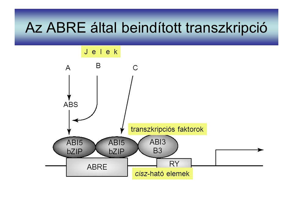 Az ABRE által beindított transzkripció