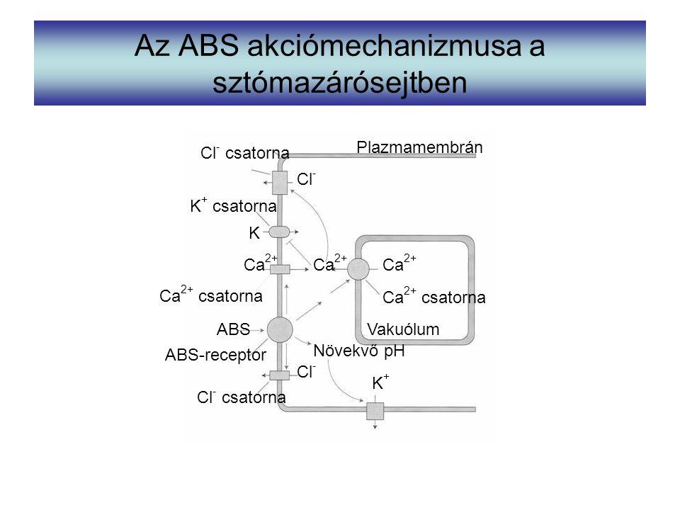 Az ABS akciómechanizmusa a sztómazárósejtben