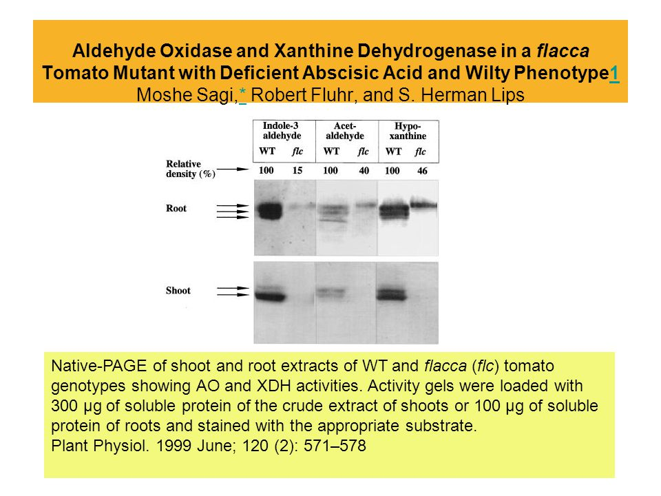Aldehyde Oxidase and Xanthine Dehydrogenase in a flacca Tomato Mutant with Deficient Abscisic Acid and Wilty Phenotype1 Moshe Sagi,* Robert Fluhr, and S. Herman Lips