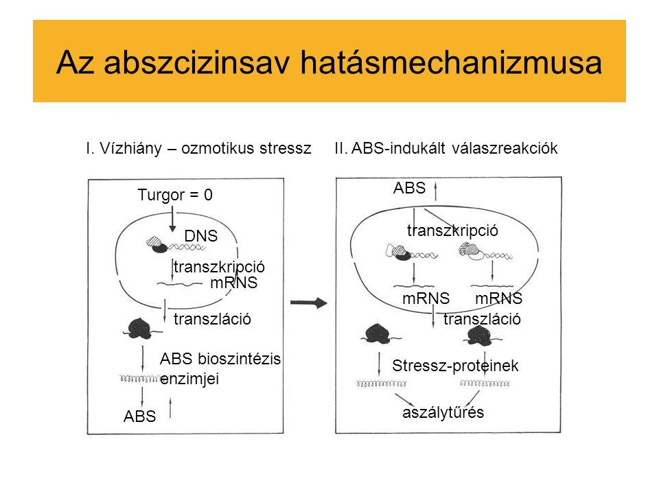 Az abszcizinsav hatásmechanizmusa