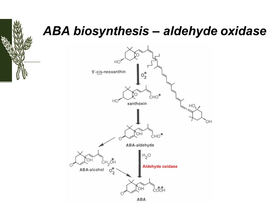 ABA biosynthesis – aldehyde oxidase