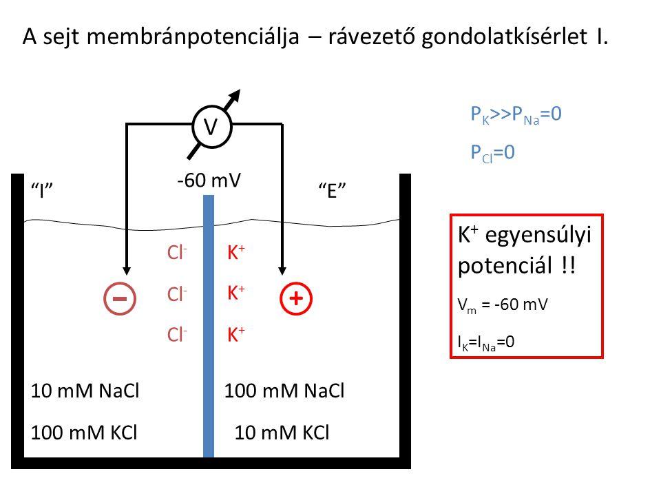 + A sejt membránpotenciálja – rávezető gondolatkísérlet I. V