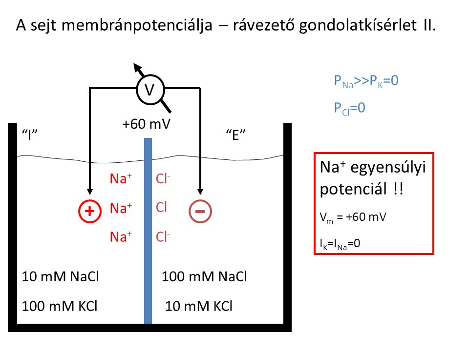 + A sejt membránpotenciálja – rávezető gondolatkísérlet II. V