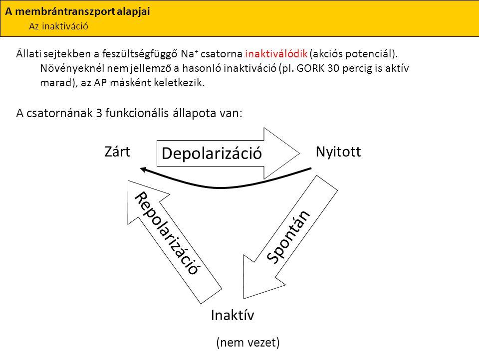 (nem vezet) Depolarizáció Repolarizáció Spontán Zárt Nyitott Inaktív