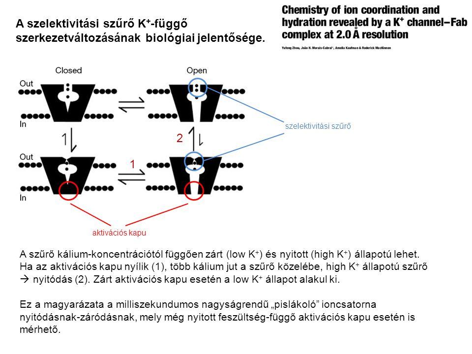 A szelektivitási szűrő K+-függő szerkezetváltozásának biológiai jelentősége.