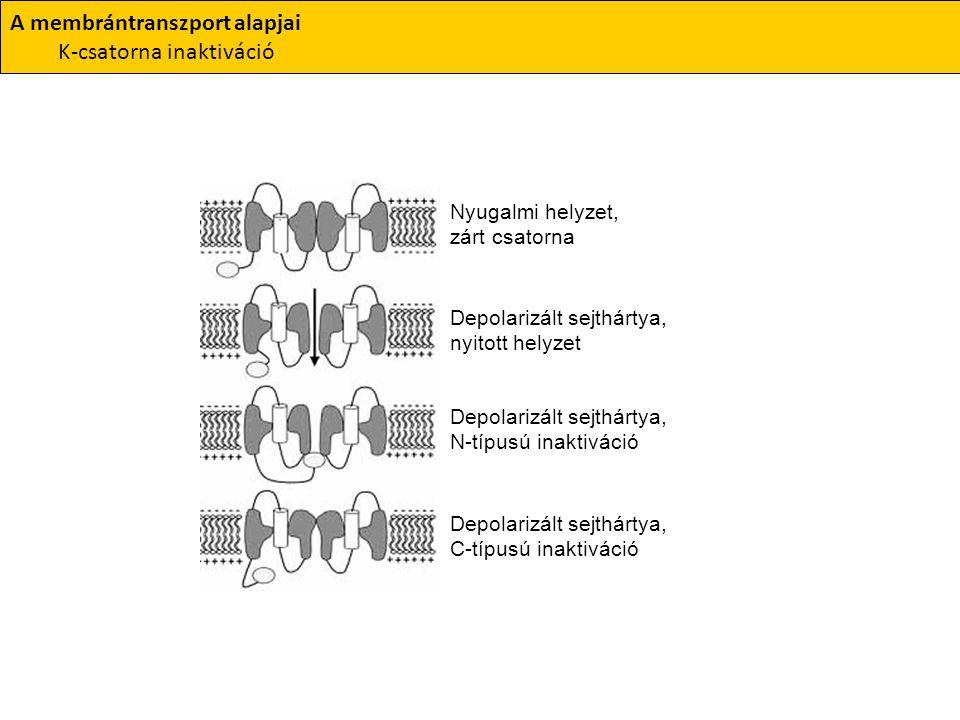 A membrántranszport alapjai K-csatorna inaktiváció