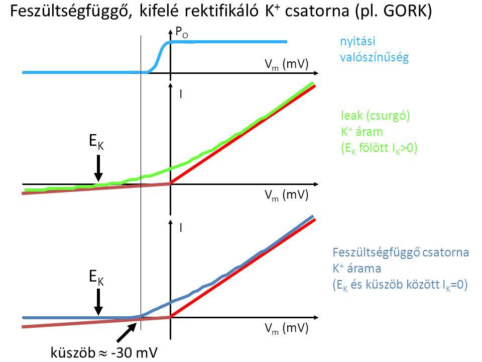 Feszültségfüggő, kifelé rektifikáló K+ csatorna (pl. GORK)