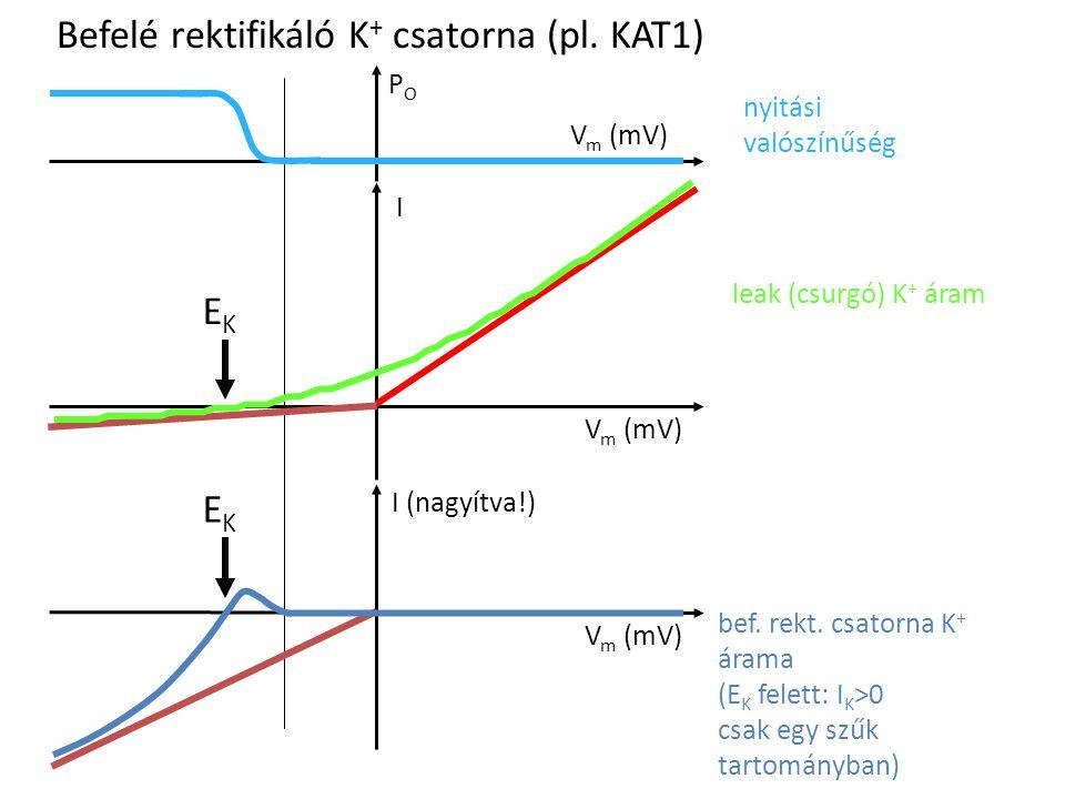 Befelé rektifikáló K+ csatorna (pl. KAT1)
