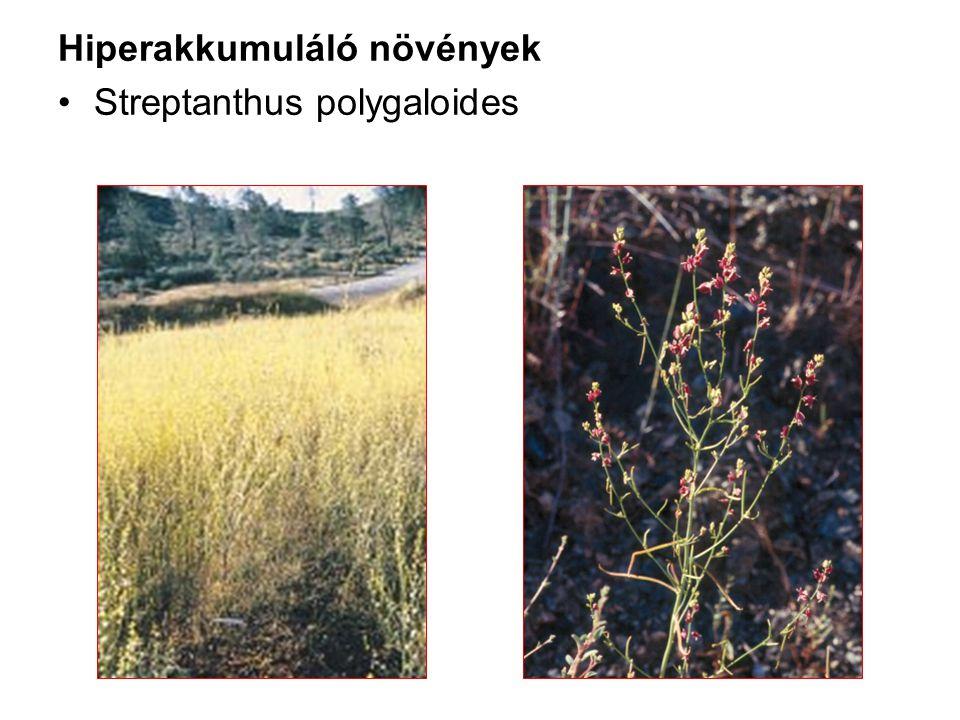 Hiperakkumuláló növények