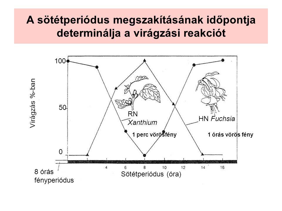 A sötétperiódus megszakításának időpontja determinálja a virágzási reakciót