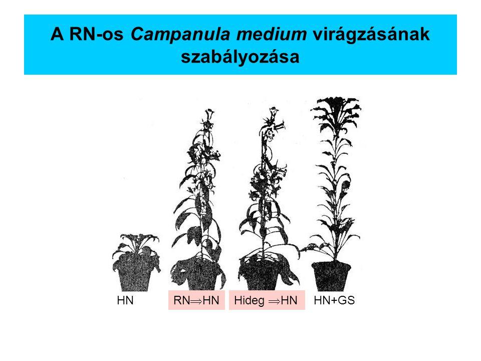 A RN-os Campanula medium virágzásának szabályozása