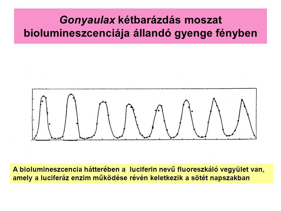 Gonyaulax kétbarázdás moszat biolumineszcenciája állandó gyenge fényben