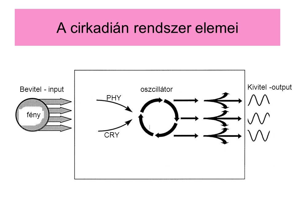 A cirkadián rendszer elemei