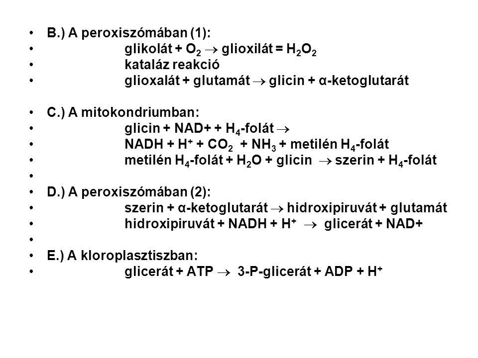 B.) A peroxiszómában (1):