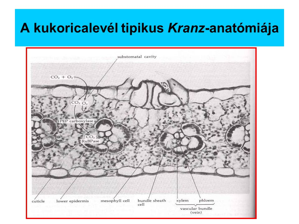 A kukoricalevél tipikus Kranz-anatómiája