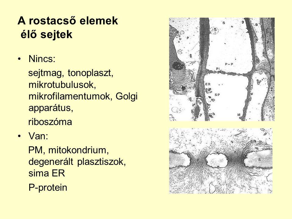 A rostacső elemek élő sejtek