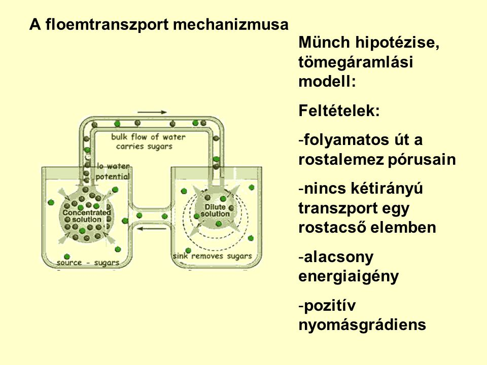 A floemtranszport mechanizmusa