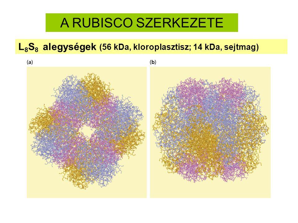 A RUBISCO SZERKEZETE L8S8 alegységek (56 kDa, kloroplasztisz; 14 kDa, sejtmag)
