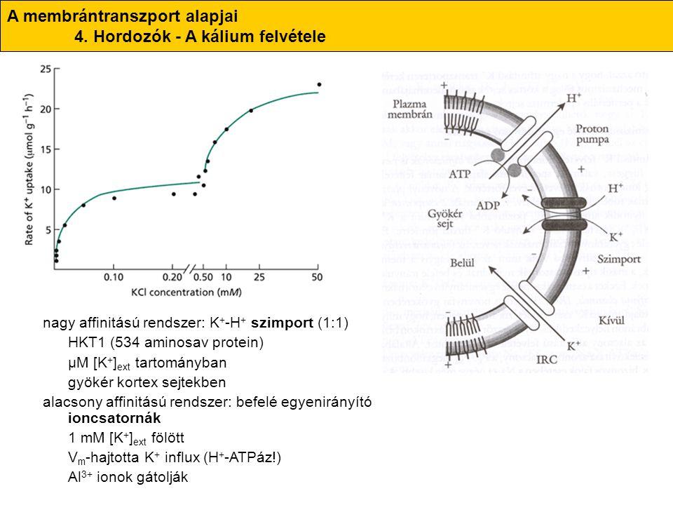 A membrántranszport alapjai 4. Hordozók - A kálium felvétele