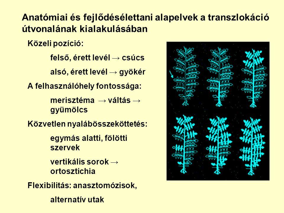 Anatómiai és fejlődésélettani alapelvek a transzlokáció útvonalának kialakulásában